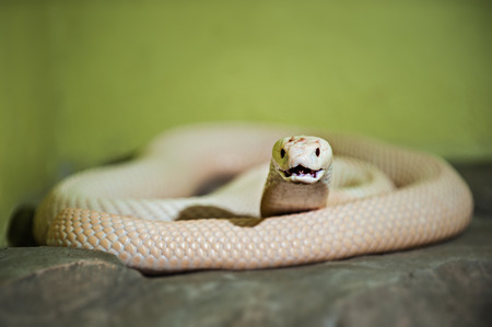 A white cobra is any of several species of snake photo