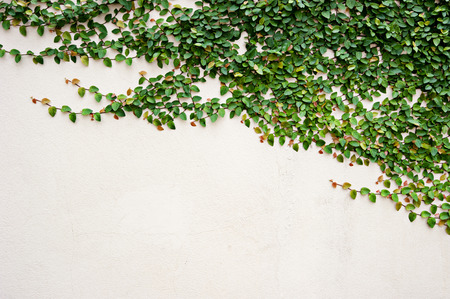 ivy wall: leaves on wall for wallpaper Stock Photo