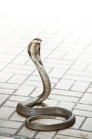 キング ・ コブラ ヘビは世界の最も長い毒ヘビ スネーク ファーム ショー バンコク タイ 写真素材