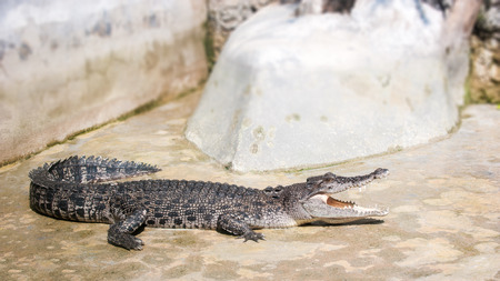 Crocodile in the Zoo photo