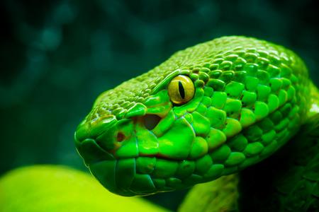 グリーン ツリー パイソン蛇 写真素材