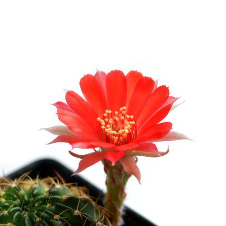 Echinopsis cactus