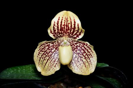 paphiopedilum: Paphiopedilum godefroyae Orchid