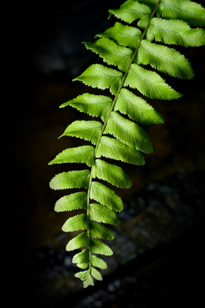 fern leaf: fern leaf