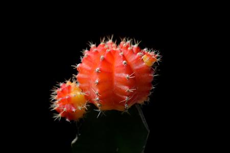 ollas de barro: Cactus Gymnocalycium Foto de archivo