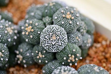 types of cactus: Astrophytum asterias v type Stock Photo