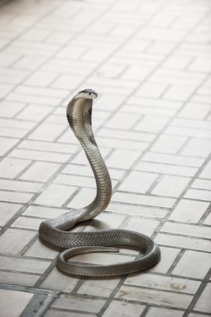 king cobra: King Cobra snake is the worlds longest venomous snake in the Snake farm show bangkok thailand Stock Photo