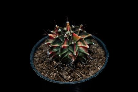 ollas de barro: Cactus Gymnocalycium mihanovichii Foto de archivo