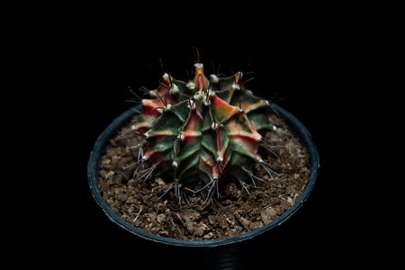 Gymnocalycium Mihanovichii  cactus Stock Photo