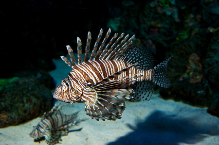 The red lionfish is a venomous coral reef fish Stock Photo