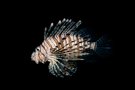 coral reef fish: The red lionfish is a venomous coral reef fish Stock Photo