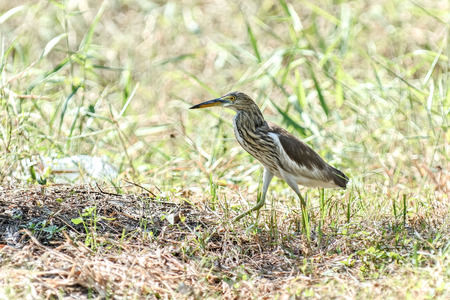 ardeidae: The Indian pond heron or paddybird. Usually hunched, they appear short necked