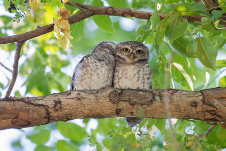 Couple of Spotted Owlet 스톡 콘텐츠