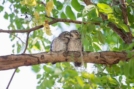 owlet: Couple of Spotted Owlet Stock Photo