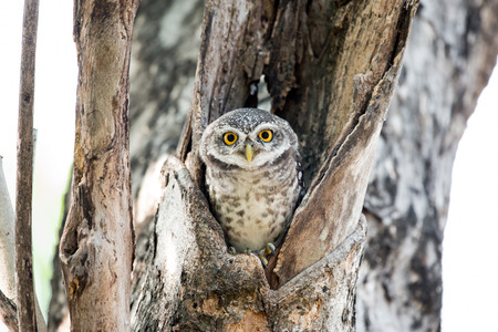 Spotted Owl Portrait