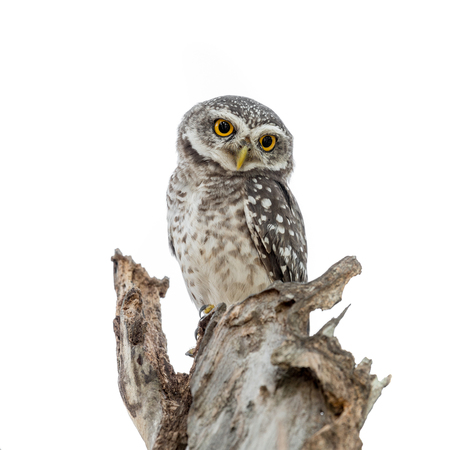 Spotted Owlet in nest isolated on white background