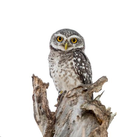 흰색 배경에 고립 된 둥지에서 발견 된 Owlet