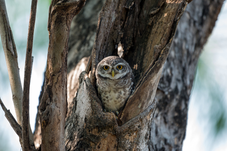 owlet: Spotted Owlet in nest
