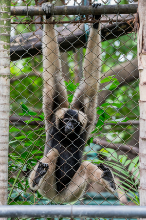 wildanimal: Pileated gibbon  in cage