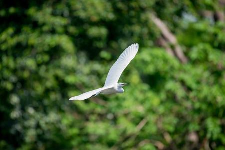 common blue: flying heron bird