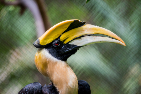close up head of great hornbill in cage