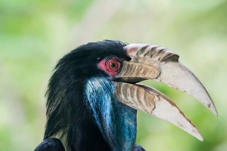 undulatus: close up head of Wreathed hornbill in cage Stock Photo