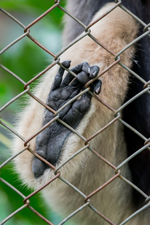 Close up Pileated gibbon foot in cage