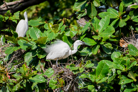 camargue: herons nest Stock Photo