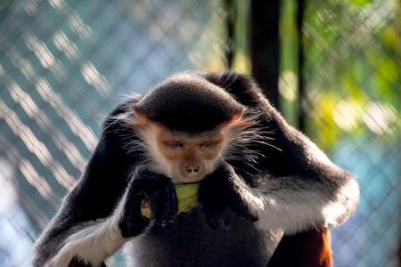 The red-shanked douc is a species of Old World monkey, among the most colourful of all primates.