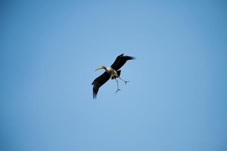 Flying Lesser adjutant stork  with blue sky background