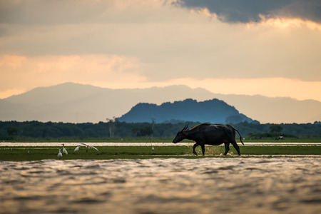 to drown: Water buffaloes in wetlands Thale Noi, one of the countrys largest wetlands covering Phatthalung, Nakhon Si Thammarat and Songkhla ,South of THAILAND.