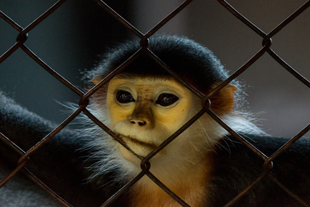cage gorilla: The red-shanked douc in cage, that is a species of Old World monkey, among the most colourful of all primates.