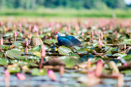 purple swamphen: Purple Swamphen in wetlands Thale Noi, one of the countrys largest wetlands covering Phatthalung, Nakhon Si Thammarat and Songkhla ,South of THAILAND. Stock Photo