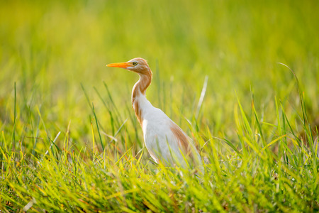 Eastern Cattle Egret in wetlands Thale Noi, one of the countrys largest wetlands covering Phatthalung, Nakhon Si Thammarat and Songkhla ,South of THAILAND. Stock Photo