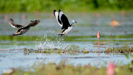 Cotton pygmy goose in wetlands Thale Noi, one of the countrys largest wetlands covering Phatthalung, Nakhon Si Thammarat and Songkhla ,South of THAILAND.