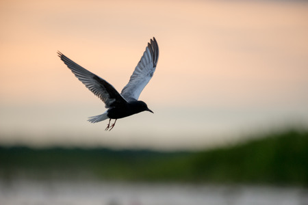 Flying Little tern in wetlands Thale Noi, one of the countrys largest wetlands covering Phatthalung, Nakhon Si Thammarat and Songkhla ,South of THAILAND.