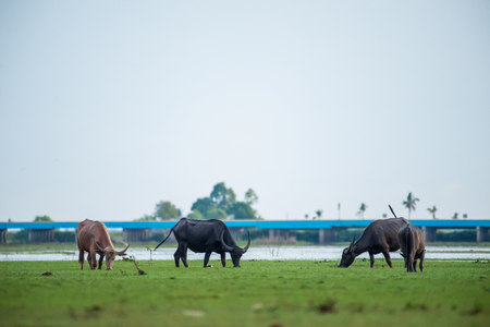 Water buffaloes in wetlands Thale Noi, one of the countrys largest wetlands covering Phatthalung, Nakhon Si Thammarat and Songkhla ,South of THAILAND.