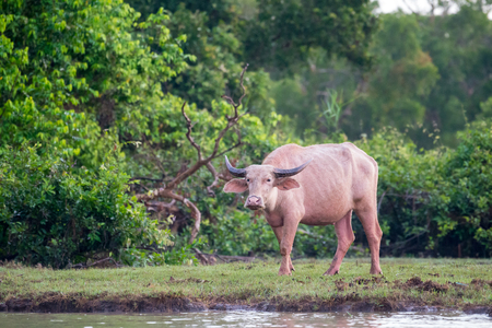 wade: Water buffaloes in wetlands Thale Noi, one of the countrys largest wetlands covering Phatthalung, Nakhon Si Thammarat and Songkhla ,South of THAILAND.