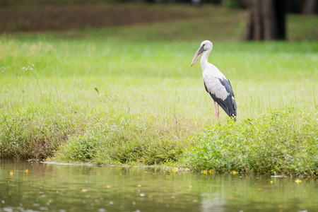 The Asian openbill or Asian openbill   in the park Stock Photo