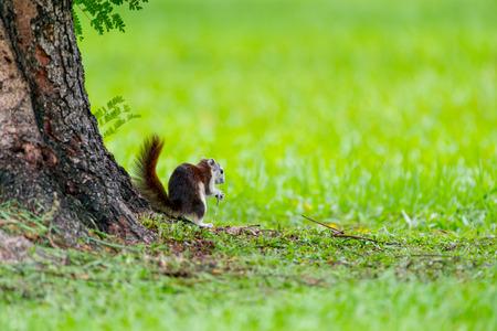 Variable Squirrel in the garden