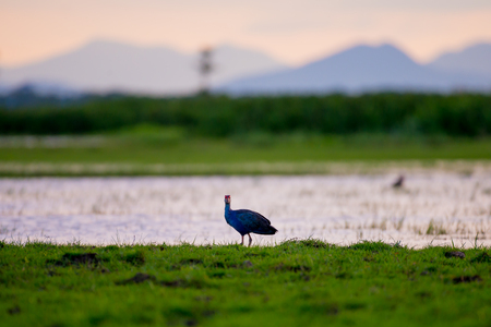 Purple Swamphen in wetlands Thale Noi, one of the countrys largest wetlands covering Phatthalung, Nakhon Si Thammarat and Songkhla ,South of THAILAND. Stock Photo