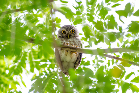 nocturnal: spotted owl standing with green tree leaves Stock Photo