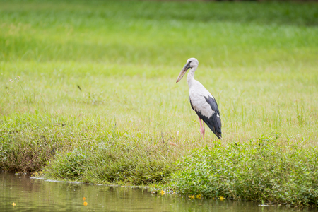 oscitans: The Asian openbill or Asian openbill   in the park Stock Photo