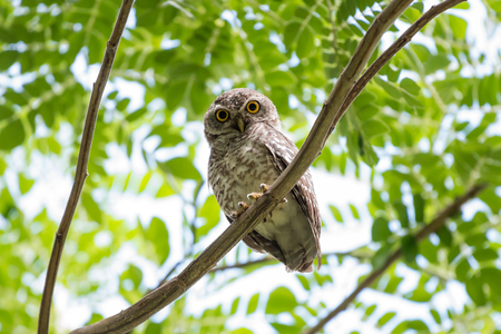 spotted owl standing with green tree leaves Stock Photo