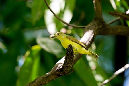 Brown throated Sunbird Female