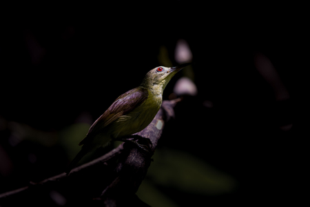 perched: Brown throated Sunbird Female