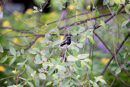 Oriental magpie robin  in thailand Reklamní fotografie