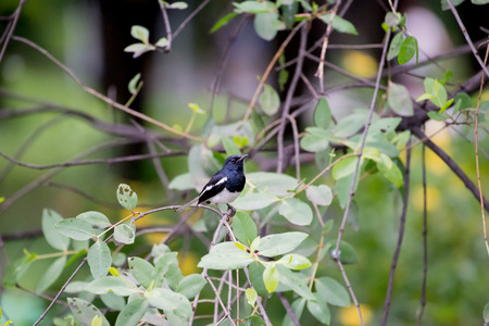 Oriental magpie robin  in thailand Stock Photo
