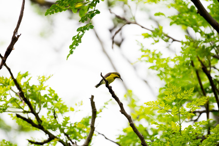 Olive backed sunbird or Yellow bellied sunbird in park at bangkok, Thailand Stock Photo