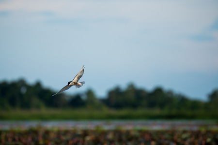 si: Flying Little tern in wetlands Thale Noi, one of the countrys largest wetlands covering Phatthalung, Nakhon Si Thammarat and Songkhla ,South of THAILAND.